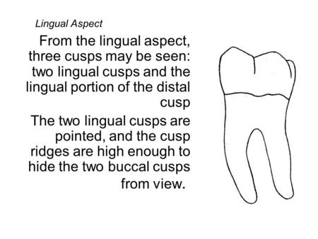 Lingual Aspect From the lingual aspect, three cusps may be seen: two lingual cusps and the lingual portion of the distal cusp The two lingual cusps are.