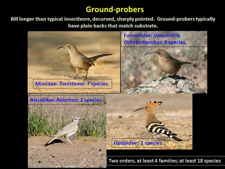 Ground-probers Bill longer than typical insectivore, decurved, sharply pointed. Ground-probers typically have plain backs that match substrate. Mimidae: