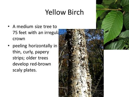 Yellow Birch A medium size tree to 75 feet with an irregular crown peeling horizontally in thin, curly, papery strips; older trees develop red-brown scaly.