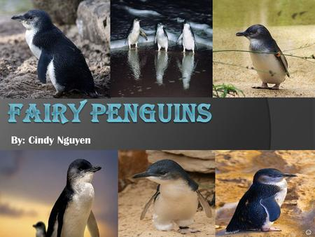 By: Cindy Nguyen ☺ What are fairy penguins? Fairy Penguins are the smallest species of penguins, they only grow about 45cm and about weigh 1 kg. They.