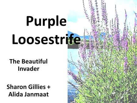 Purple Loosestrife The Beautiful Invader Sharon Gillies + Alida Janmaat.