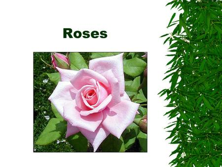 Roses. Classification of roses  Modern garden roses  Old garden roses  Species roses.