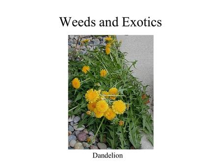 Weeds and Exotics Dandelion. What is a weed? a plant in the wrong place a plant out of place a plant whose virtues are yet to be discovered one person's.