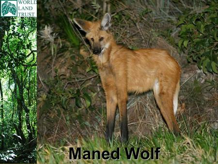 Maned Wolf Image© Jamie Stewart. Scientific name is Chrysocyon brachyurus Maned Wolf Found in South America, in these countries; Brazil, Paraguay, Peru,