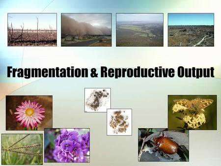 Fragmentation & Reproductive Output. Altered landscapes Less habitat Smaller patches Various shapes Smaller populations Fewer mates Fewer resources for.