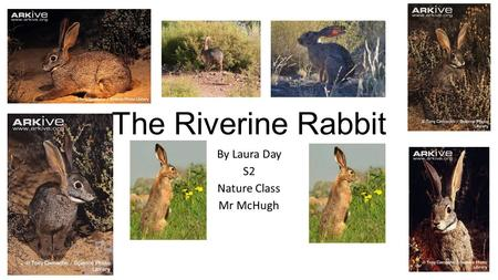 The Riverine Rabbit By Laura Day S2 Nature Class Mr McHugh.