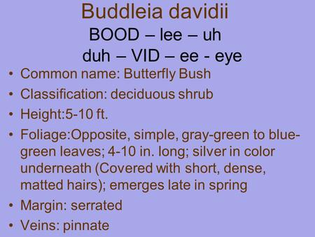 Buddleia davidii BOOD – lee – uh duh – VID – ee - eye Common name: Butterfly Bush Classification: deciduous shrub Height:5-10 ft. Foliage:Opposite, simple,