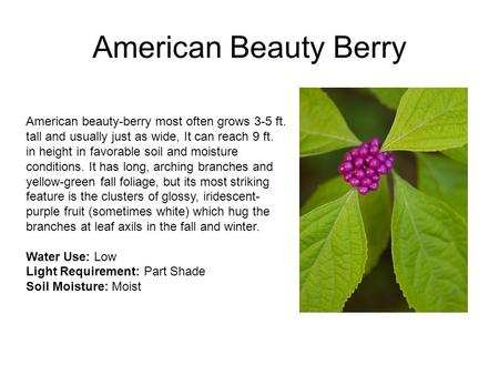 American Beauty Berry American beauty-berry most often grows 3-5 ft. tall and usually just as wide, It can reach 9 ft. in height in favorable soil and.