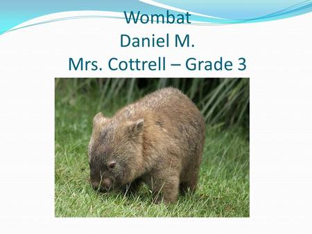 Wombat Daniel M. Mrs. Cottrell – Grade 3. Appearance Covered in brown and black fur Big black nose Tiny black eyes Whiskers 23 to 38 inches long 30 to.