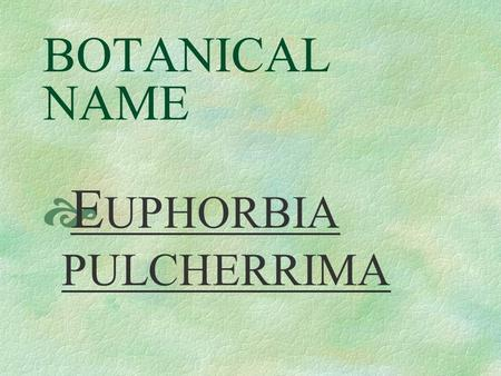 BOTANICAL NAME  E UPHORBIA PULCHERRIMA PRONUNCIATION  you - FOR - bee - ah pull - CARE - im - ah.