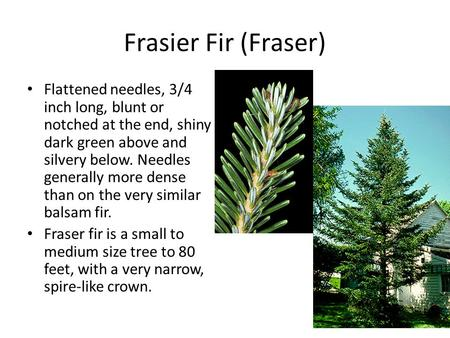 Frasier Fir (Fraser) Flattened needles, 3/4 inch long, blunt or notched at the end, shiny dark green above and silvery below. Needles generally more dense.