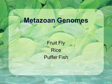 Metazoan Genomes Fruit Fly Rice Puffer Fish. Drosophila melanogaster Fruit fly mutants have been studied for nearly 100 years. Fly labs have used phenotypes.