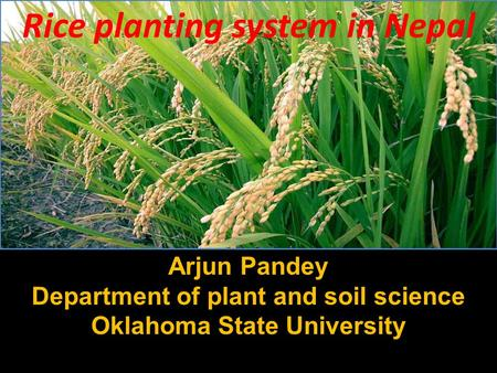 Rice planting system in Nepal Arjun Pandey Department of plant and soil science Oklahoma State University.