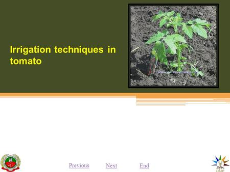 Irrigation techniques in tomato Previous NextEnd.