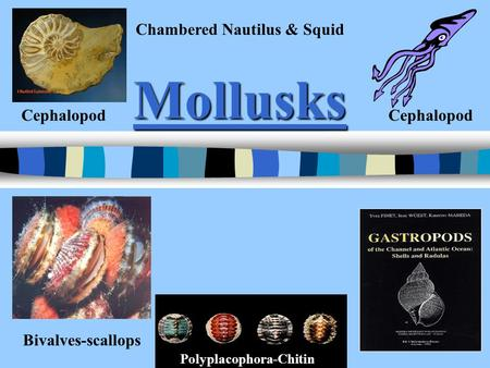 Mollusks Bivalves-scallops Cephalopod Chambered Nautilus & Squid Polyplacophora-Chitin.