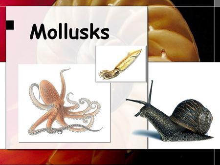 Mollusks. Phylum Mollusca Includes snails and slugs, oysters and clams, and octopuses and squids. BivalvesNautilus.