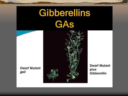 Gibberellins GAs. a class of plant hormones affect several important plant processes eg., seed germination stem elongation flowering male sterility Gibberellins.