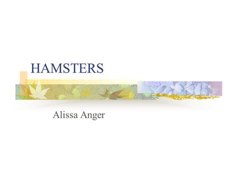 HAMSTERS Alissa Anger. Syrian Hamster (Mesocricetus auratus) Muridae -family Rodentia –order includes other common rodents such as gerbils, rats, mice,