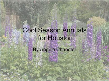 © 2011 Angela Chandler – All Rights Reserved Cool Season Annuals for Houston By Angela Chandler.