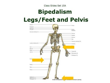 Why be bipedal?