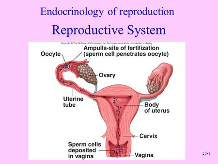 28-1 Endocrinology of reproduction Reproductive System.