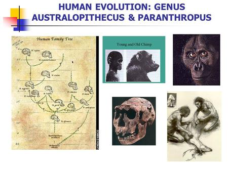genus australopithecus Australopithecus sediba lower jaws  characteristic of the older, more apelike  genus australopithecus, from which homo presumably evolved.