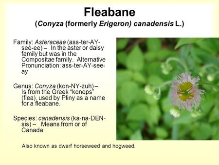 Fleabane (Conyza (formerly Erigeron) canadensis L.) Family: Asteraceae (ass-ter-AY- see-ee) – In the aster or daisy family but was in the Compositae family.