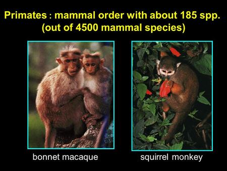 Primates : mammal order with about 185 spp. (out of 4500 mammal species) bonnet macaque squirrel monkey.