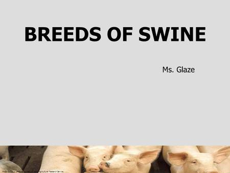 Photo by Regis Lefebure courtesy of USDA Agricultural Research Service. BREEDS OF SWINE Ms. Glaze.