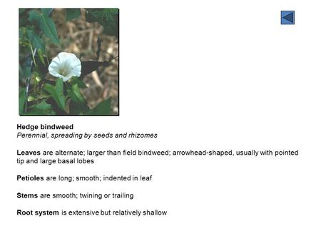Hedge bindweed Perennial, spreading by seeds and rhizomes Leaves are alternate; larger than field bindweed; arrowhead-shaped, usually with pointed tip.