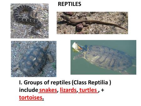 REPTILES I. Groups of reptiles (Class Reptilia ) include snakes, lizards, turtles, + tortoises.