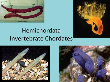 Hemichordata Invertebrate Chordates. Evolutionary Perspective Echinoderms, Hemichordates, and Chordates are most likely derived from a common (yet undiscovered)