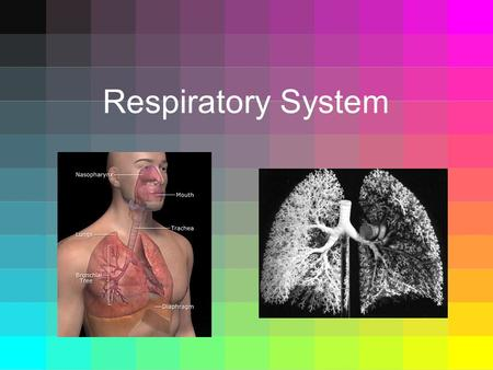 Respiratory System. Function of Respiratory System  Supplies oxygen to the blood and removes carbon dioxide.  Breathing – fresh air moves into your.