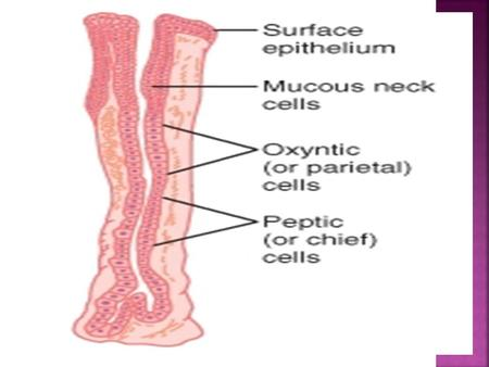 Gastric Mucosal Barrier