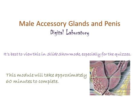 Male Accessory Glands and Penis
