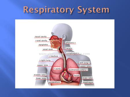  Includes the passages that transport air to and from the lungs, and the air sacs in which gas exchange occurs. Respiration is the entire process by.