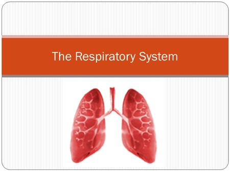 The Respiratory System. The Respiratory System Overview The primary function of the respiratory system is to bring in oxygen into the body and remove.