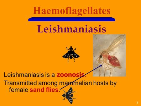 1 Haemoflagellates Leishmaniasis Leishmaniasis is a zoonosis. Transmitted among mammalian hosts by female sand flies.
