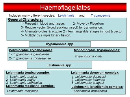Includes many different species: LeishmaniaTrypanosoma General Characters: 1- Present in blood and tissue.2- Move by Flagellum 3- Require vector (blood.