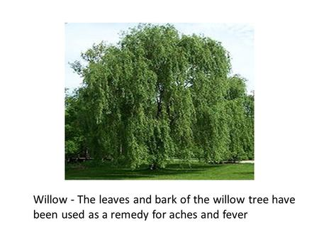 Willow - The leaves and bark of the willow tree have been used as a remedy for aches and fever.