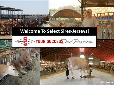 Welcome To Select Sires-Jerseys!. Select Sires making a difference around the world Sambo Berretta Hermitage Barber Centurion Duncan Chief Duncan Saint.