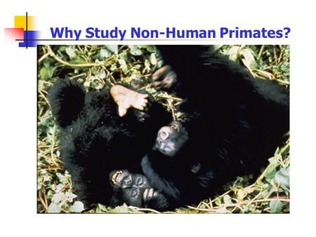 Why Study Non-Human Primates? 1. Behaviors universal among modern primates give us clues to our ancestors' behavior 2. Allows reconstruction of likely.