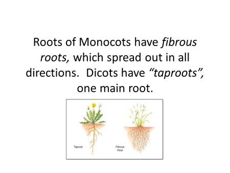 "Roots of Monocots have fibrous roots, which spread out in all directions. Dicots have ""taproots"", one main root."