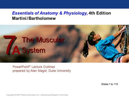 Essentials of Anatomy & Physiology, 4th Edition Martini / Bartholomew PowerPoint ® Lecture Outlines prepared by Alan Magid, Duke University The Muscular.