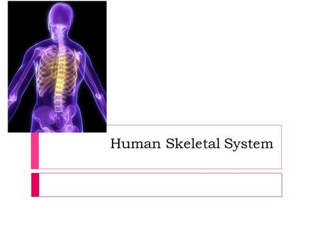 Human Skeletal System. _________________________ of the Human Endoskeleton 1. Body framework, support and protection 2. Base for muscle attachment (tendons.