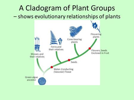 A Cladogram of Plant Groups – shows evolutionary relationships of plants Flowering plants Cone-bearing plants Ferns and their relatives Mosses and their.