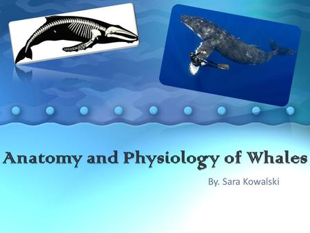 By. Sara Kowalski. Toothed Whales vs. Baleen Whales Toothed Whales (Odontoceti) Baleen Whales (Mysticeti) Toothed whales are predators that use their.