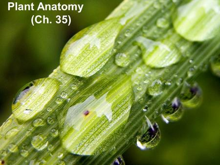 Plant Anatomy (Ch. 35) Basic plant anatomy 1 root – root tip – root hairs.