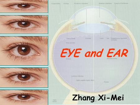EYE and EAR Zhang Xi-Mei. Introduction: ª Eyes: the visual organ. § Ears: the organ of hearing and equilibrium.