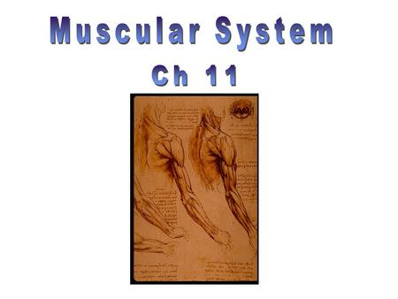 Muscular System Ch 11.